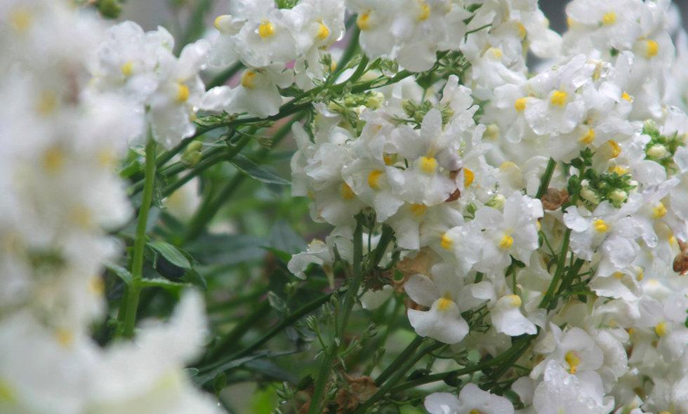 Australische Buschblüten