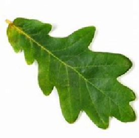 oak leaf.png