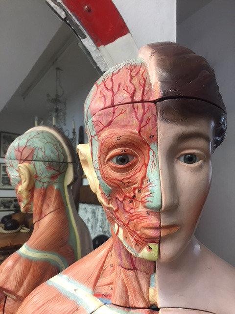 Anatomisches Lehrmodell
