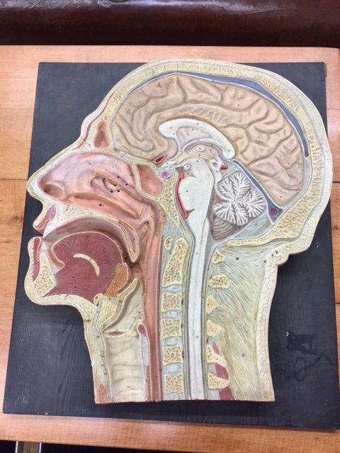 Lehrobjekt Kopf