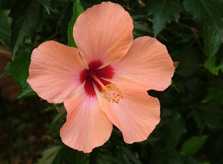 CORALBA L'Hibiscus sabdariffa