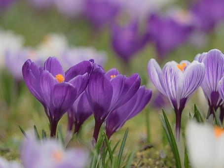 Asfar Lo Zafferano (crocus sativus L.) e la crocina nei Pazienti con disturbi depressivi.