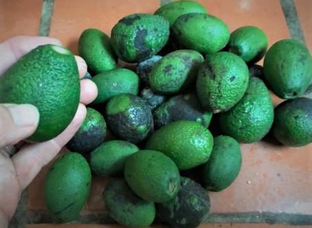 Avocados dropping...