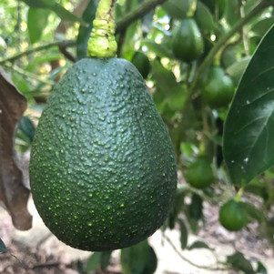 2020 - Best Year Yet for Avocados!