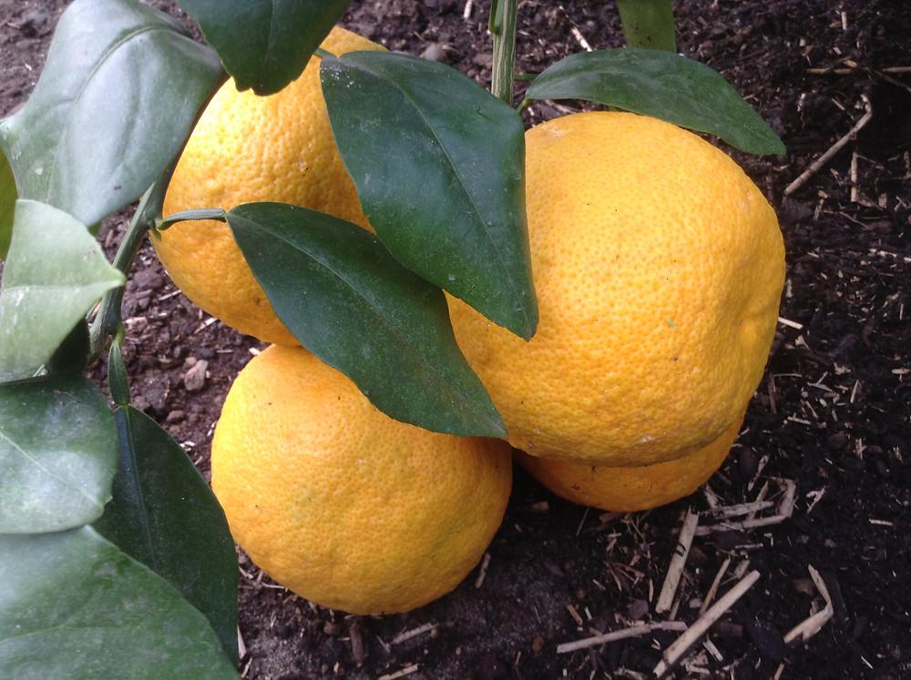 Sudachi Mandarins