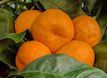19 Varieties of Fresh Citrus for Fruit Tastings at Next Week's Workshop