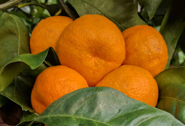 19 Varieties of Fresh Citrus for Fruit Tastings at Next Week's Workshop