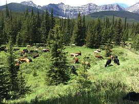 ABR Cattle.jpg