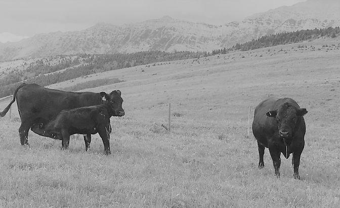 ABR Cow_calf and Bull B_W 2.jpg