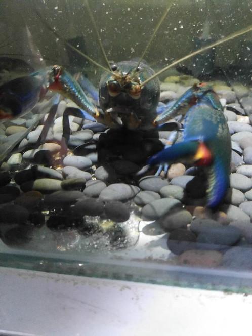 Blue Claw Crayfish 10-12cm
