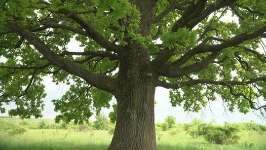 Lush oak crown inside.A lone oak in a fi