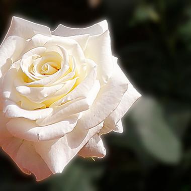 Rosa Blanca-7b-WEB.jpg