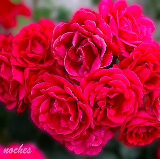 Rosas-1b-WEB.jpg