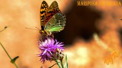 Mariposa nacarada-2-7-16a