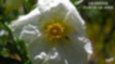 Flor de la Jara-3-WEB.jpg