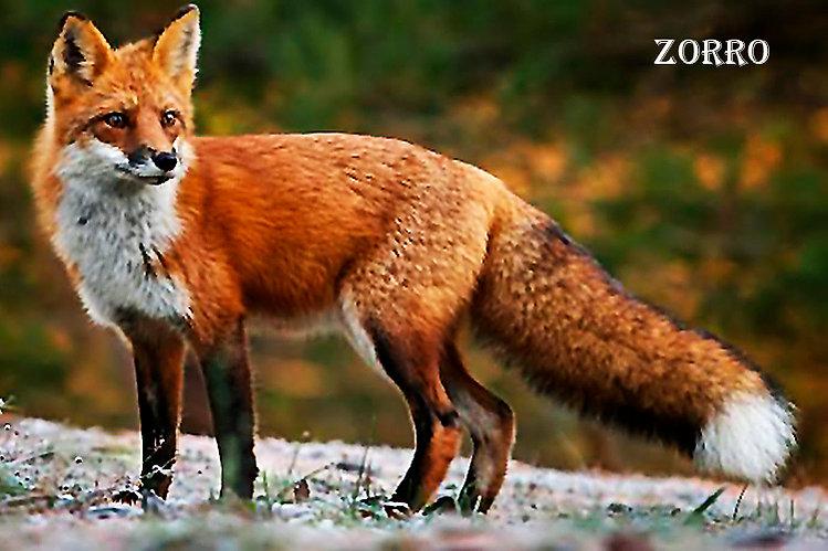 zorro-WEB.jpg