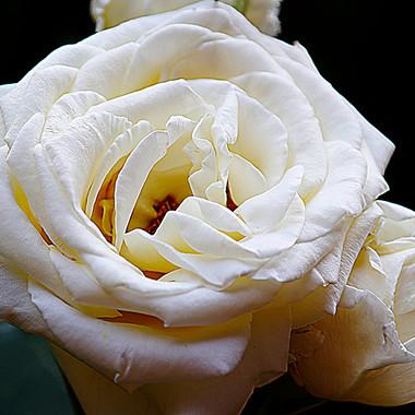 Rosa Blanca-5-WEB.jpg