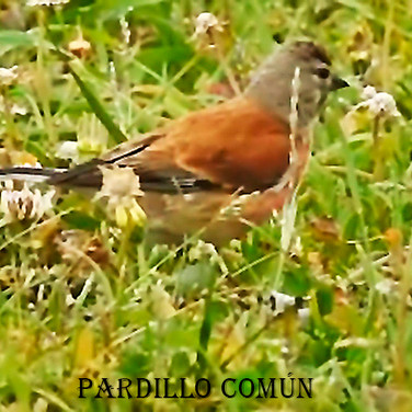 Pardillo Comun-5-WEB.jpg