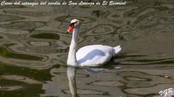 Cisne-3