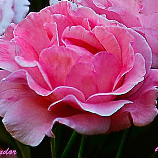 rosa-rosa-WEB.jpg