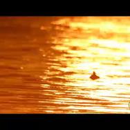 Pato nadando.mp4