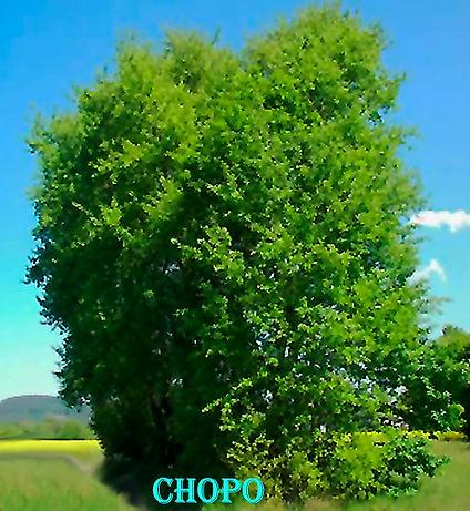 Chopo-WEB.jpg