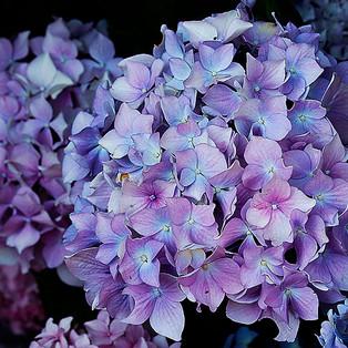 hortensia-1e-WEB.jpg