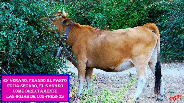 Vaca-1-WEB.jpg