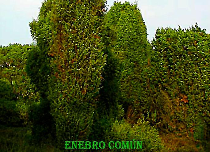 Enebro Comun-WEB.jpg