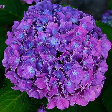 hortensia-1d-WEB.jpg