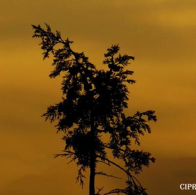 cipres-30-8-15-WEB.jpg