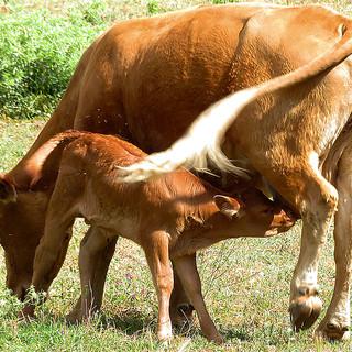 Vaca+ternero-1r.jpg