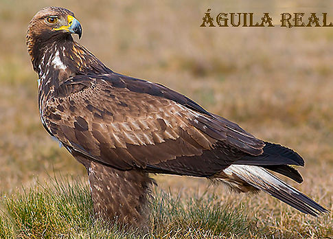 Aguila real-WEB.jpg