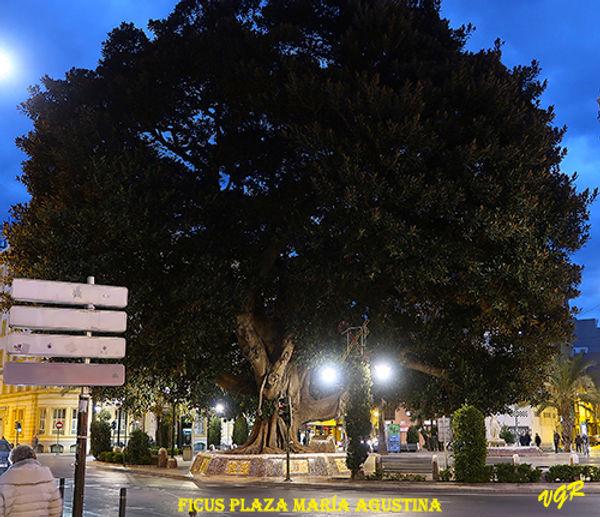Ficus-Plaza Maria Agustina-2-WEB.jpg