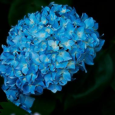 hortensia-1c-WEB.jpg
