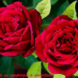 Dos rosas-WEB.jpg