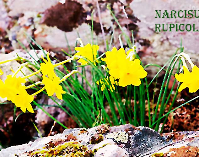 narcisus rupicula-1-WEB.jpg