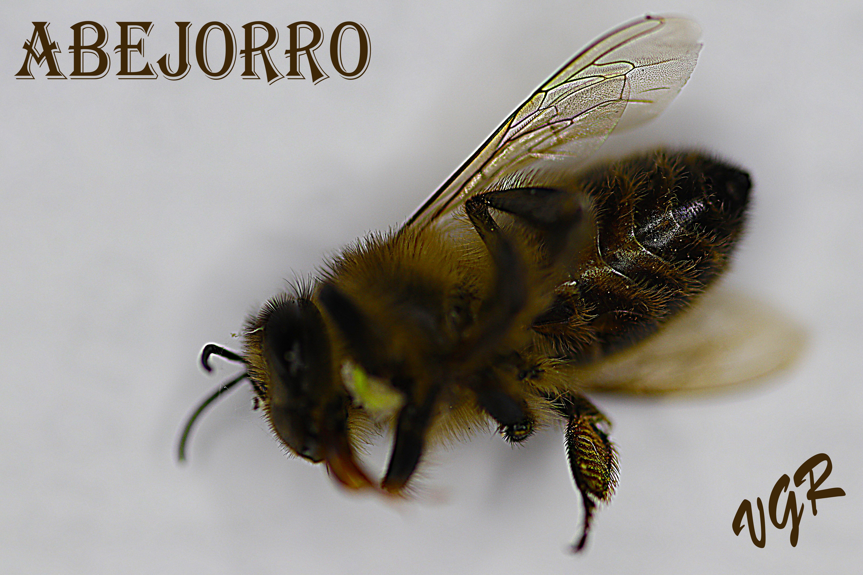 abejorro-0
