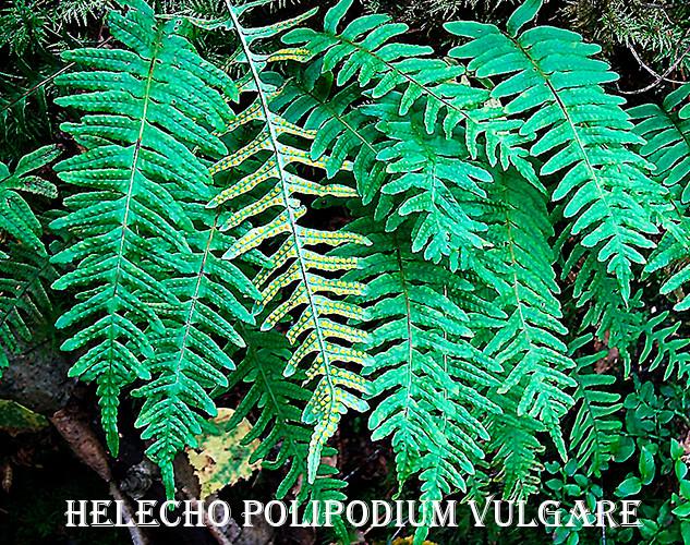 Helecho-Polypodium vulgare-1-WEB.jpg