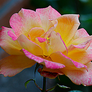 Rosa-Amarillo-roja-5-WEB.jpg