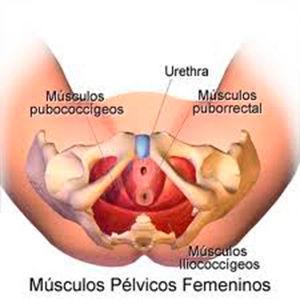 MUSCULOS PELVICOS FEMENINOS.jpg