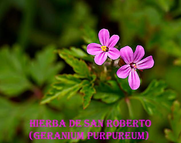 Hierba de San Roberto-Geranium purpureum