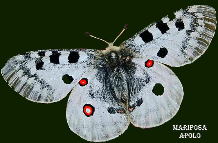 Mariposa-Apolo-WEB.jpg