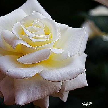 Rosa Blanca-3-WEB.jpg