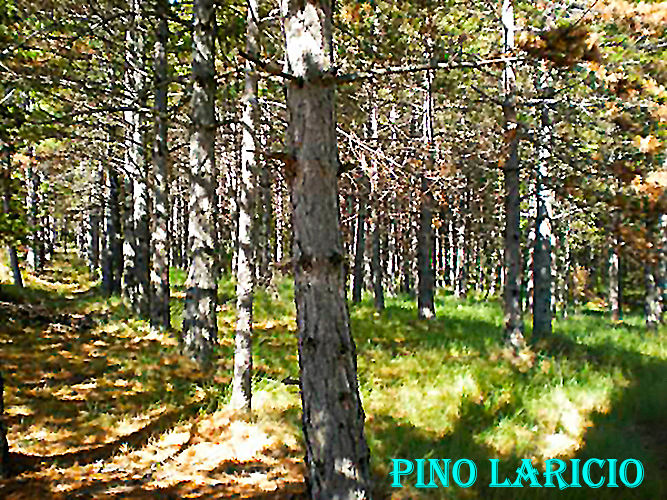 Pino Laricio-WEB.jpg