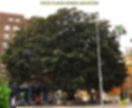 Ficus-Plaza Maria Agustina-1-WEB.jpg