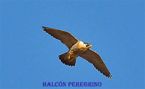 Halcon Peregrino-WEB.jpg