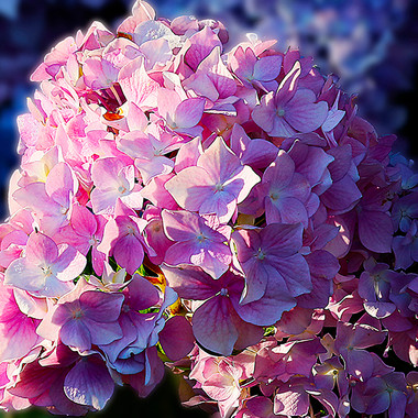 Hortensia-1b-WEB.jpg
