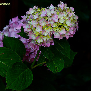 hortensia-1a-WEB.jpg