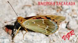 Mariposa nacarada-5